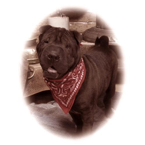 Big Black Dog With Red Handkerchief