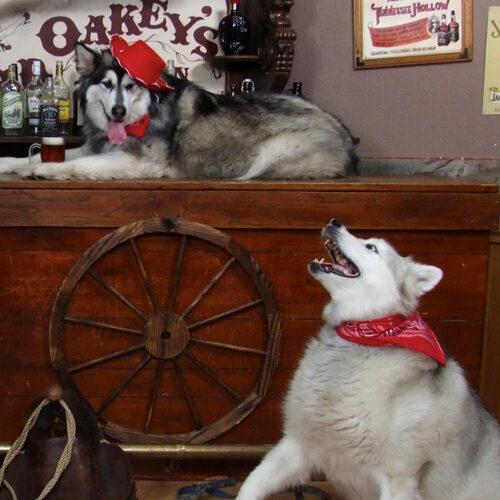 Two Lovely Husky Dogs